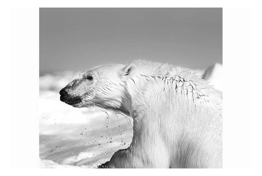 Carsten Egevang© - Thule, Groenlandia3, 2013